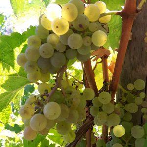 Weintrauben im Weinberg